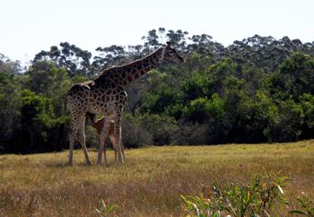 Kraggakamma Giraffe