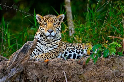 Jaguar Sanctuary in Belize