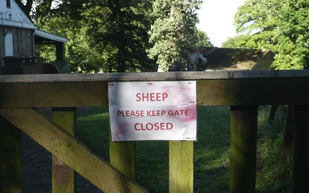 Sheep are always forgetting to do that